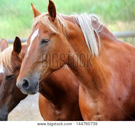 Closeup of chestnut colored horse shows head and shoulders. Two horses are standing in a corral in Happy Valley Montana.