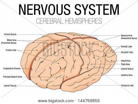 A NERVOUS SYSTEM - CEREBRAL HEMISPHERES - Vector image