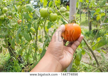Human hand picking ripe tomato at at plant nursery. Selected focus on red tomato.
