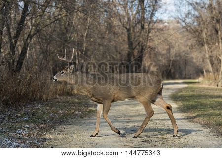 A large Whitetail Buck walking over a small road