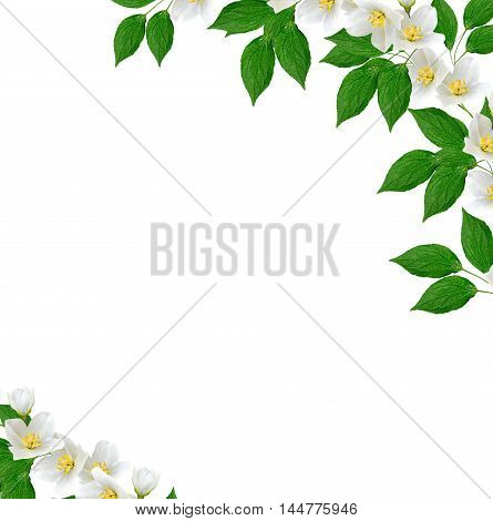 branch of jasmine flowers isolated on white background. spring