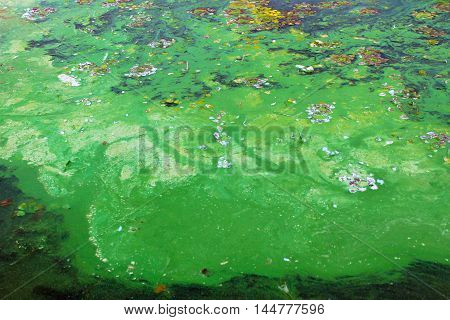 Green algae plants on the water surface
