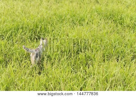 cat walk in the grassland