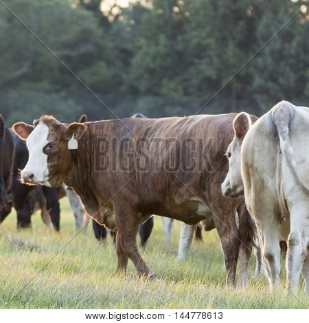 Crossbred heifer with white face backlit by the setting sun - square format