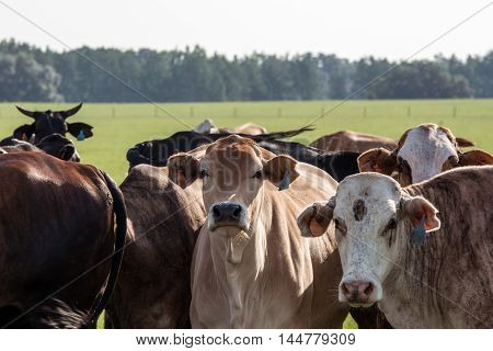 Close up of crossbred commercial cows in a southern pasture