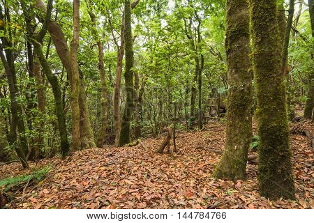 SubTropical forest in Anaga Tenerife Canary island Spain.