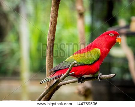 portrait of beautiful Chattering red Lory Lorius garrulus