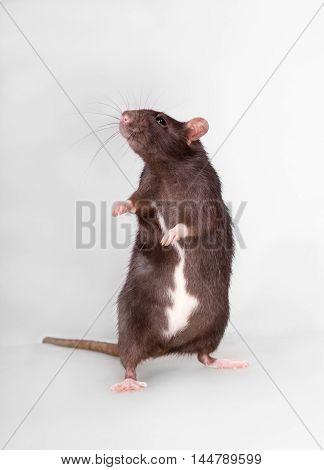 portrait of a curious standing domestic rat