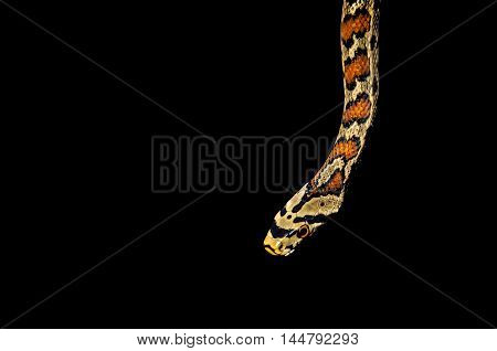 Beautiful and dangerous snake isolated on black background