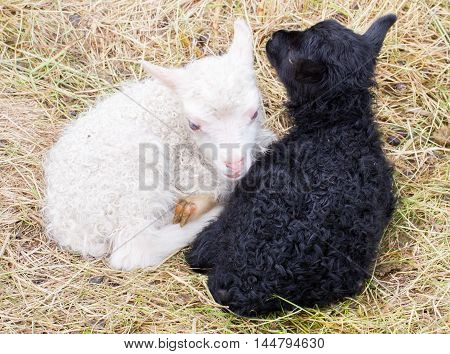 Little Newborn Lambs Resting On The Grass - Black And White