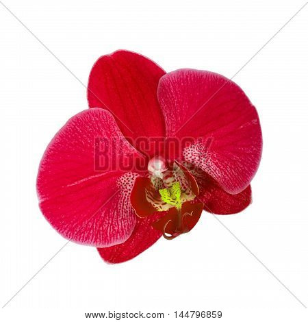Red orchid flower, close up shot. Isolated on white