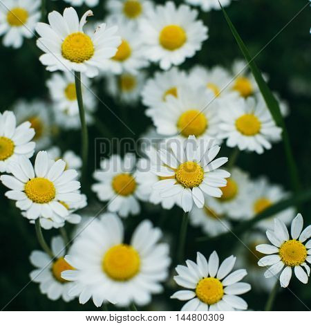 Purple Flowers, Chamomile Grass, Beautiful