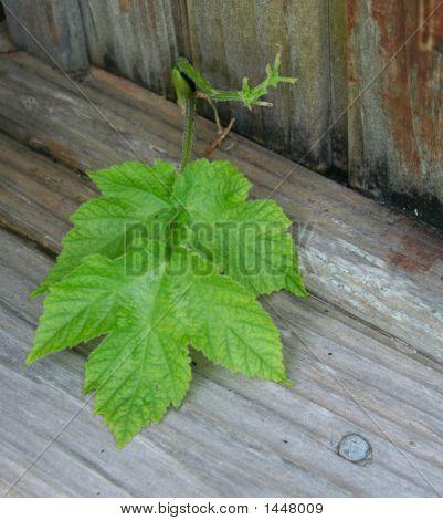 Berry Leaf on wood peeking through a
