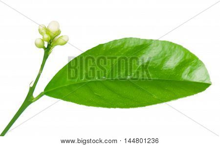 Lemon tree with blossom flowers isolated on a white background