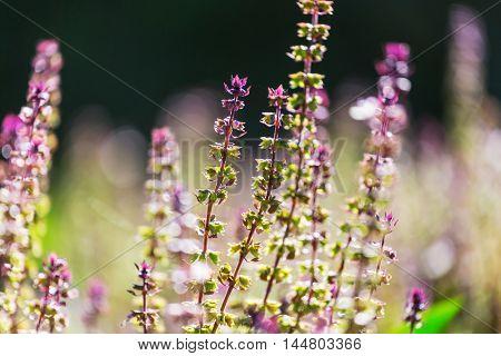 Basil plant in the garden