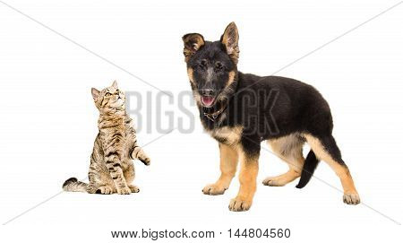 Cat Scottish Straight playing with a puppy German Shepherd isolated on white background