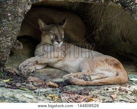 Portrait of Mountain Lion puma or cougar sleeping