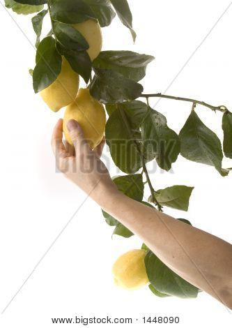 Igroup of lemons hanging from branches