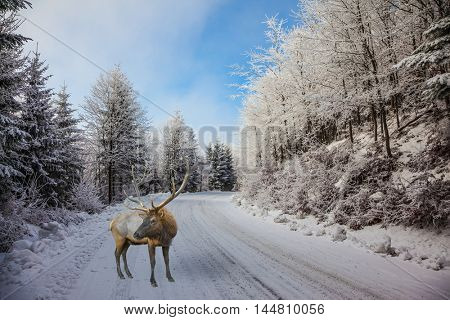 The snow-covered road in the northern Christmas wood. The red deer with branchy horns costs on a skiing run