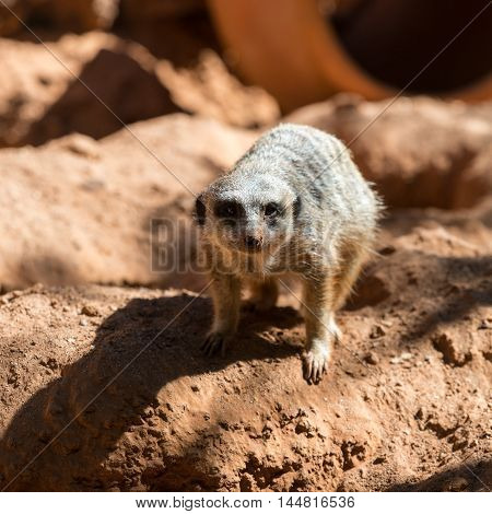 Close up of Meerkat stands guard (Suricata suricatta)