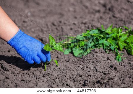 The farmer in blue gloves and cleans hands weeds from the soil. Preparation for planting seedlings. The fight against weeds.