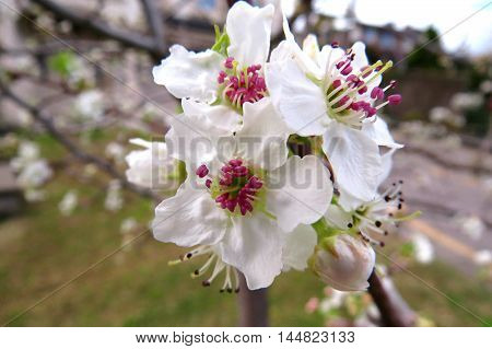 White blossom in spring time in bloom