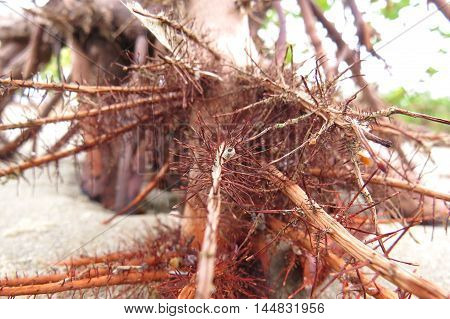 Mangrove swamp spiky tree roots above sand