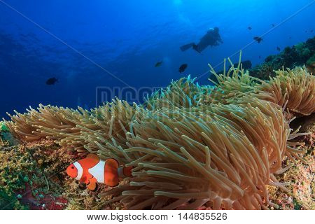 Scuba dive over coral reef with clownfish anemonefish fish