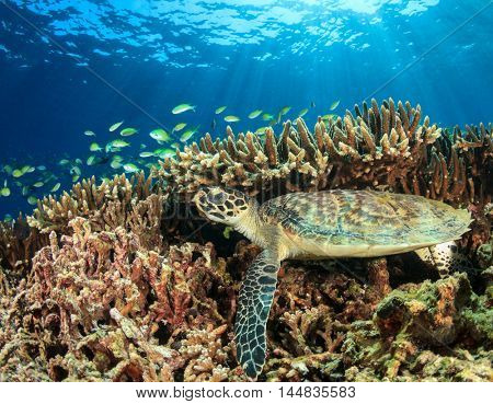 Young Hawksbill Turtle rests under coral reef with fish