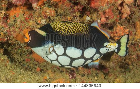 Clown Triggerfish coral reef fish