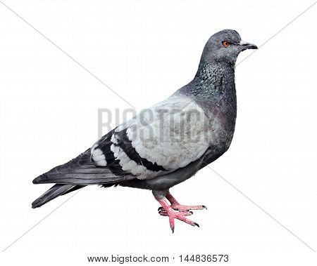 Close up feral grey pigeon side view isolated on a white background.