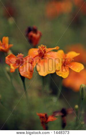 Orange Burst 2