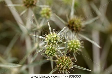 Flowers of a field eryngo (Eryngium campestre)