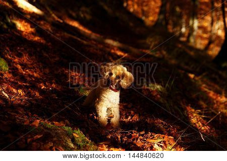 Whites poodle in autumn forest beautiful autumn leaves