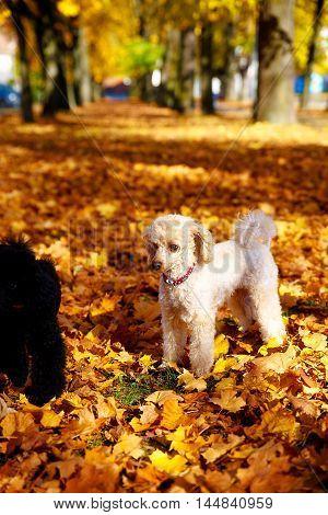 Whites poodle in autumn park beautiful autumn leaves