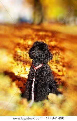 Black poodle in autumn park, beautiful autumn leaves. Blur effect at the edges