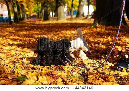 Black and whites poodle in autumn park beautiful autumn leaves