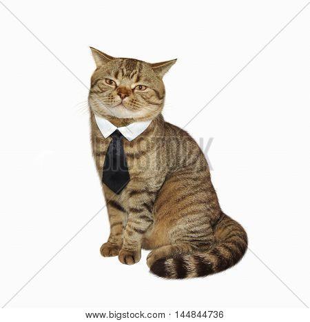 Male cat looks like a gentleman. It wears a tie.