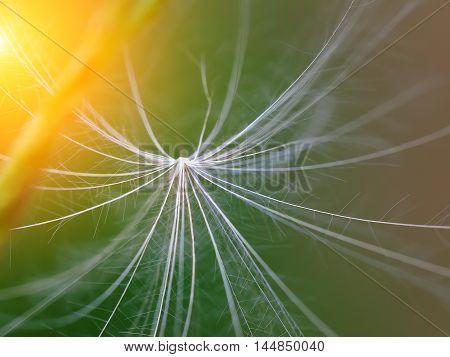 dandelion fuzz closeup shoot. macro background shoot