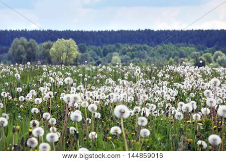 Meadow Of Dandelions