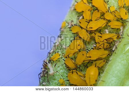 Macro closeup tiny yellow aphids on leaf stem