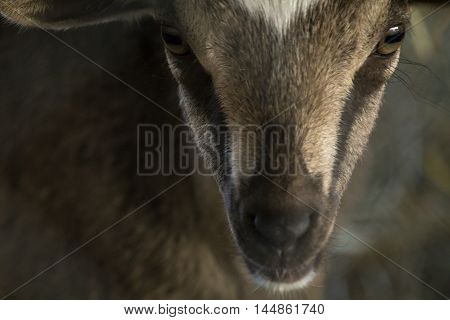 Closeup baby kinder goat at local dairy farm