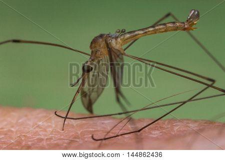 Close up macro disgusting mosquito biting human skin