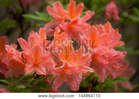 Flame azalea (Rhododendron calendulaceum). Flowering plant.