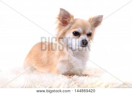 Chihuahua Is Resting