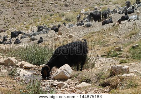 drinking water flock of sheep in the mountains