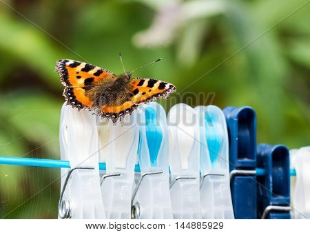 Small Tortoiseshell butterfly (Aglais urticae) resting on clothes pegs on a washing line.