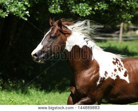 Amazing Paint Horse Stallion Running