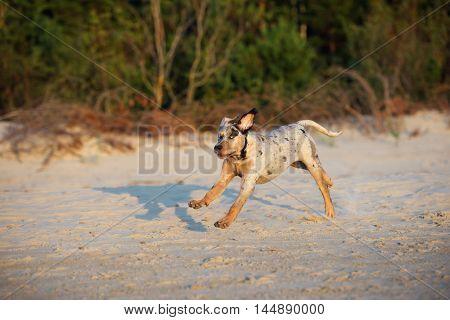 happy catahoula puppy running on a beach
