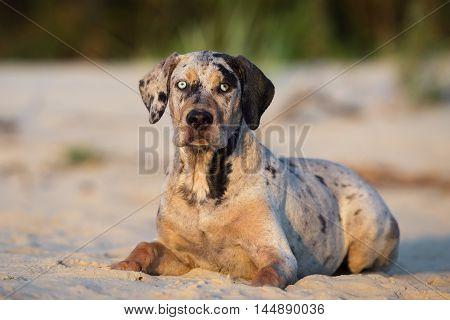 adorable catahoula puppy posing on a beach